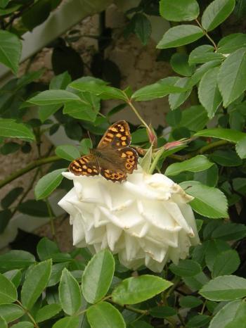 le-papillon-sur-la-rose.jpg