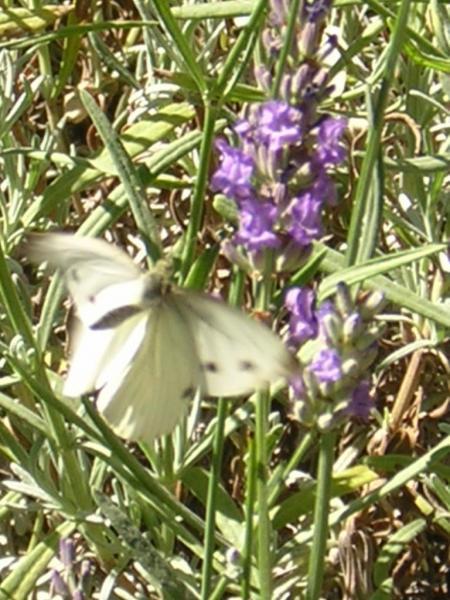 papillon-sur-lavande-gros-plan.jpg