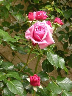 rosiers-rose-2.jpg
