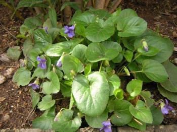 violettes-005.jpg
