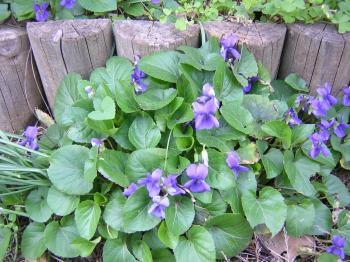 violettes-2-001.jpg